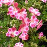 Foto der Pelargonie