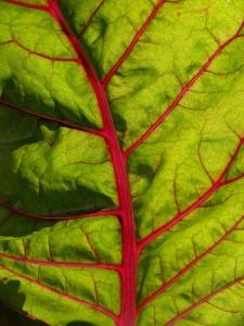 die-schoenheit-rharbarber-pflanze ; Copyright: Flickr.com/flickr-uli