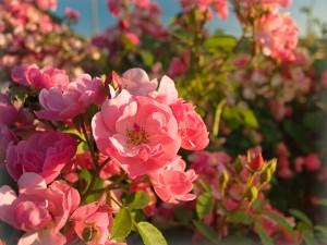 Rosen - Toll für jeden Garten